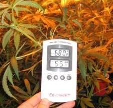 How To Grow Huge Marijuana Buds Cannabis In Australia